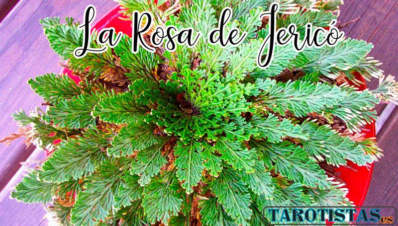 rosa de Jericó